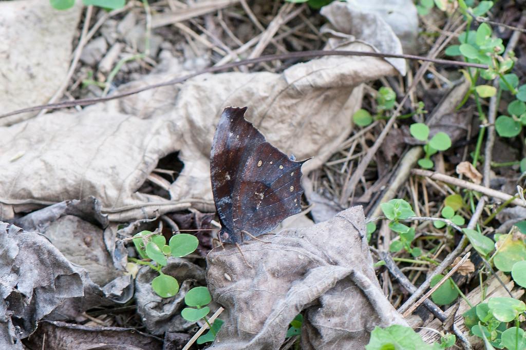 Dark Evening Brown (Melanitis phedima polishana)