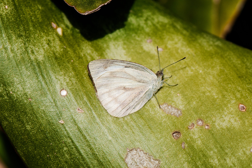Common Gullwing (Cepora coronis cibyra) female