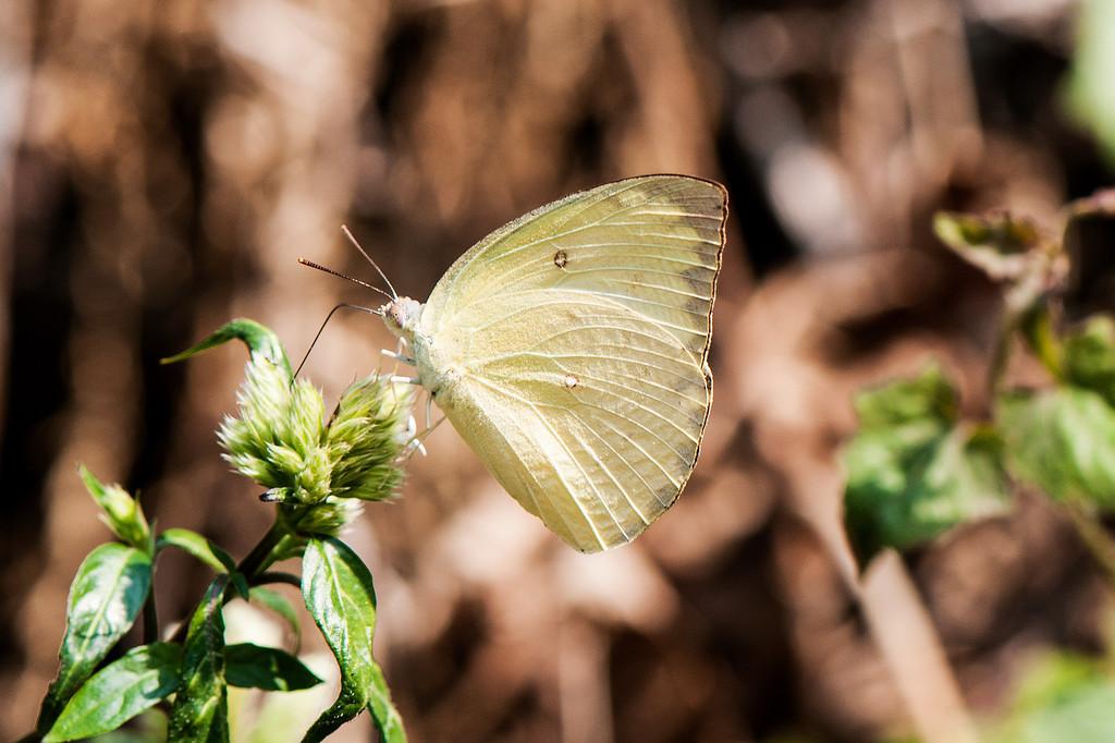 Lemon Emigrant (Catopsilia pomona pomona) female