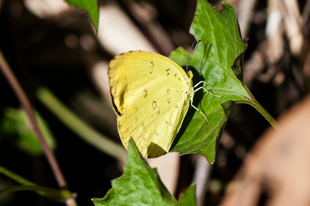 Three-spot Grass Yellow (Eurema blanda arsakia)