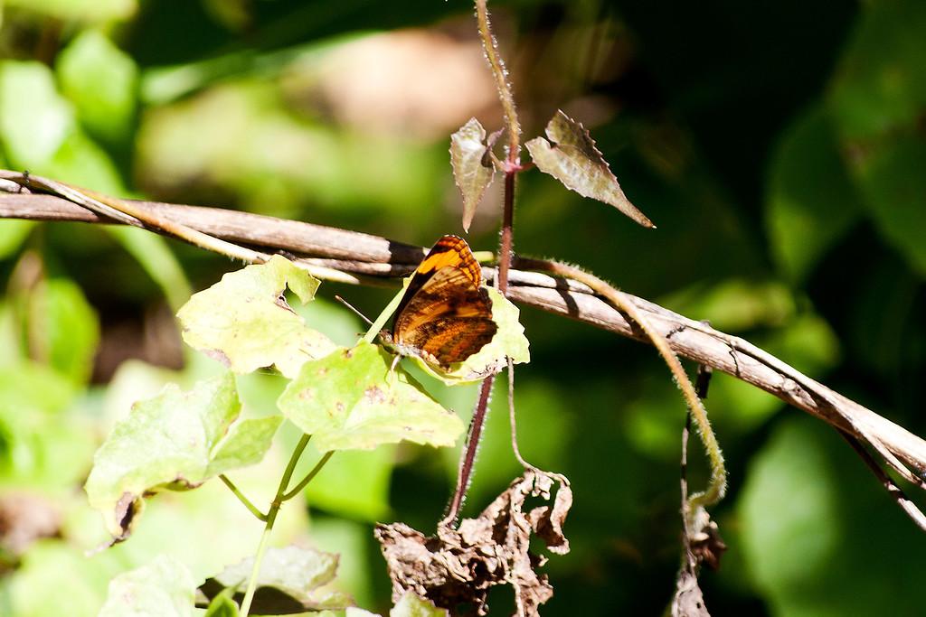 Common Lascar (Pantoporia hordonia hordonia)