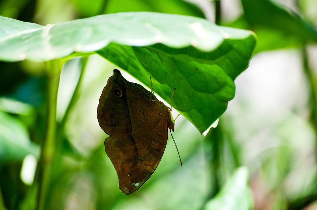 Autumn Leaf (Doleschallia bisaltide continentalis)