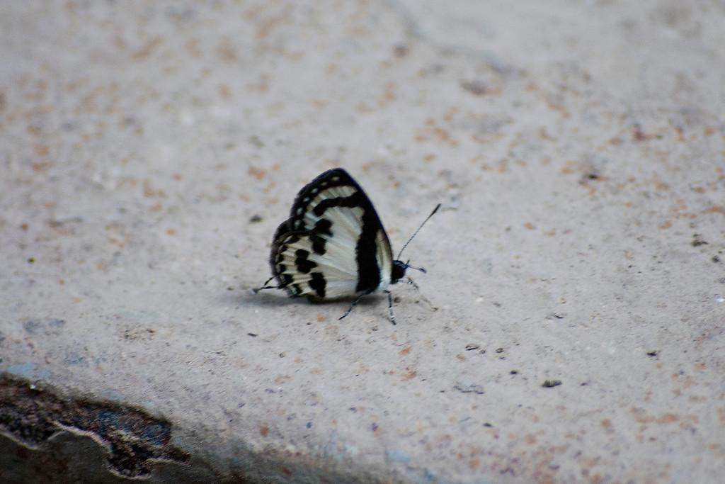 Straight Pierrot (Caleta roxus pothus)