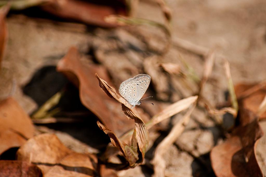 Tiny Grass Blue (Zizula hylax hylax)