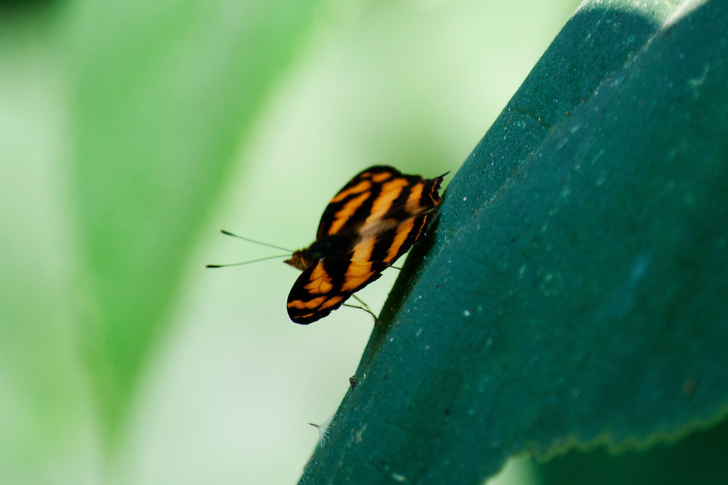 Common Jester (Symbrenthia lilaea luciana)
