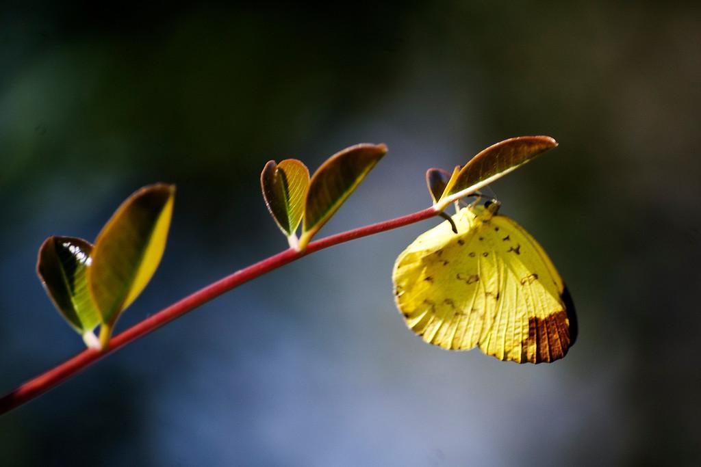 Three-spot Grass Yellow (Eurema blanda silhetana)