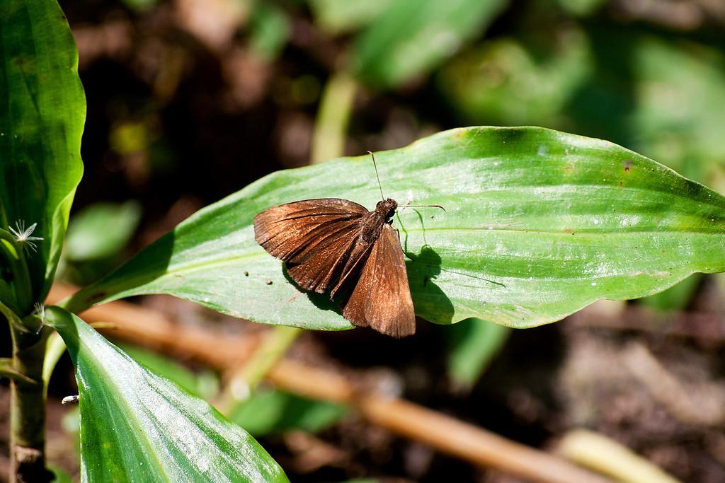 Hainan Dawnfly (Capita hainana arooni)