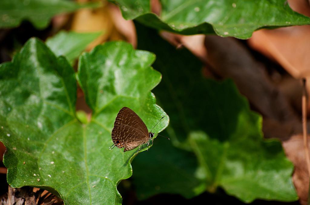 Violet Four-Line Blue (Nacaduba subpernusia lysa)