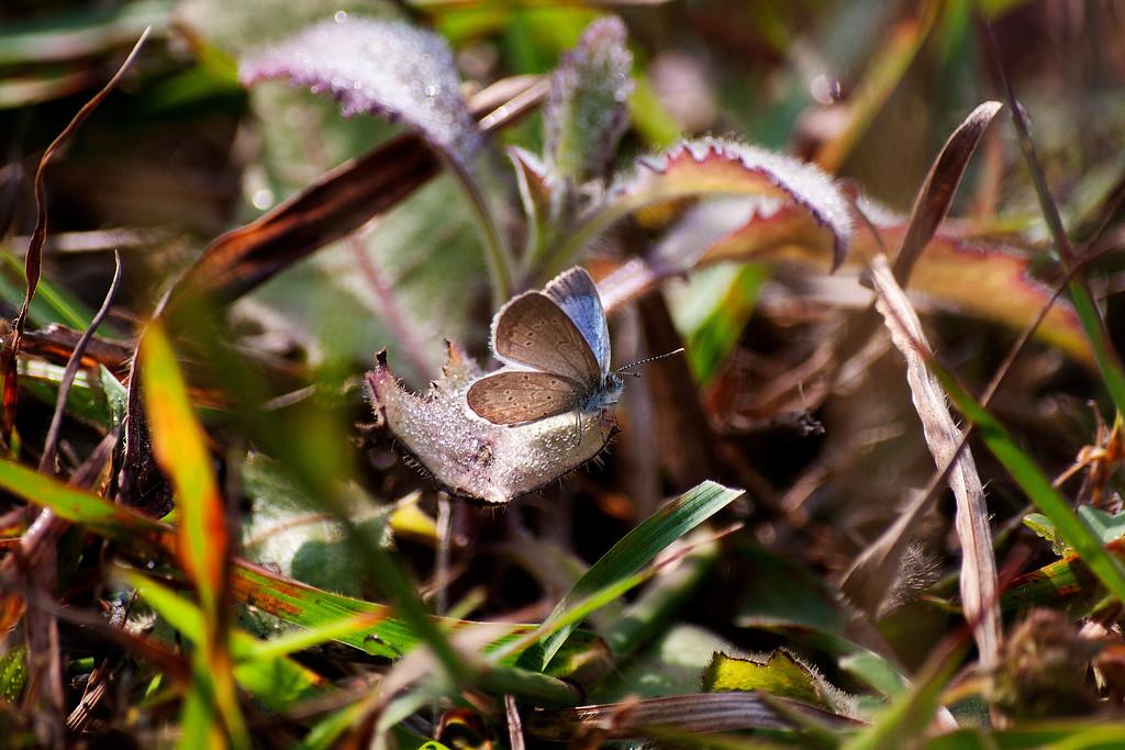 Lesser Grass Blue (Zizina otis lampa)