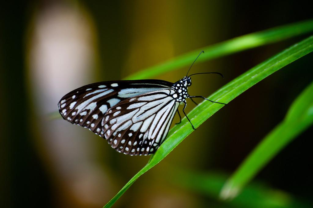 Glassy Tiger (Parantica aglea melanoides)