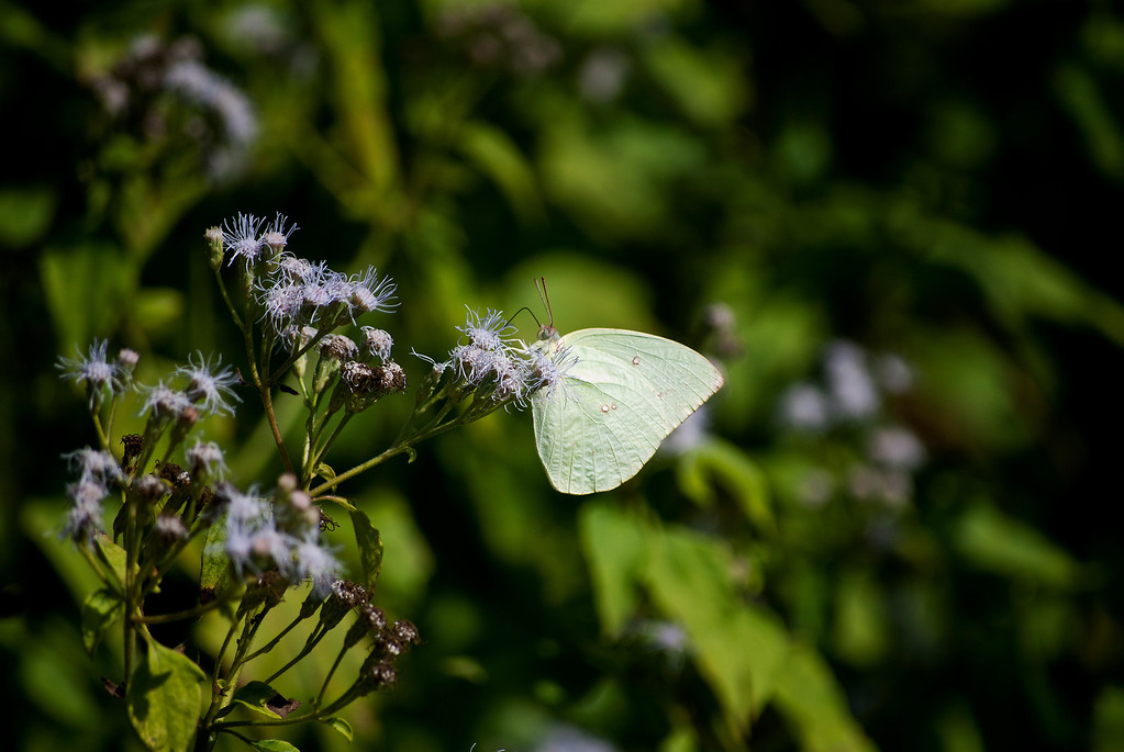 Lemon Emigrant (Catopsilia pomona pomona)