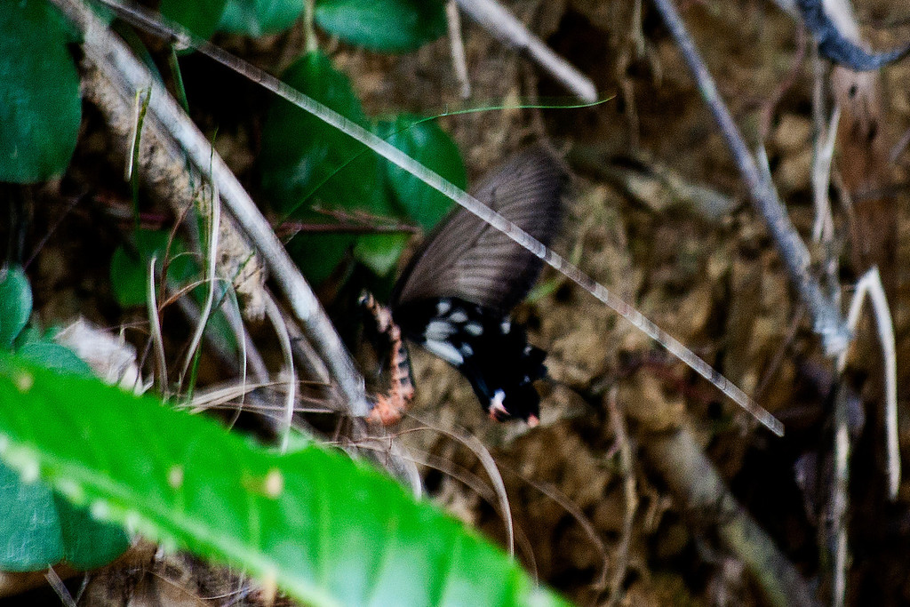 Common Clubtail (Losaria coon doubledayi)