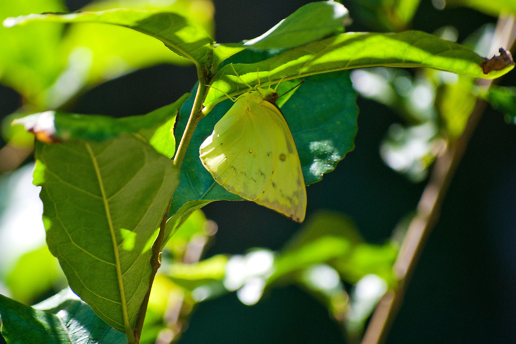 Orange Emigrant (Catopsilia scylla cornelia)