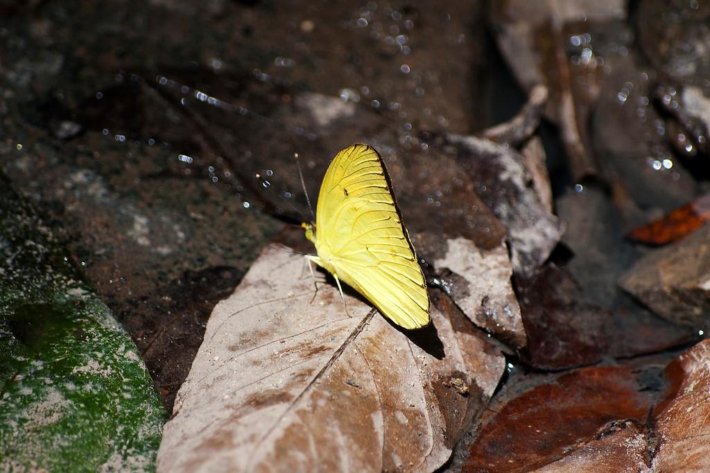 Yellow Orange Tip (Ixias pyrene yunnanensis)