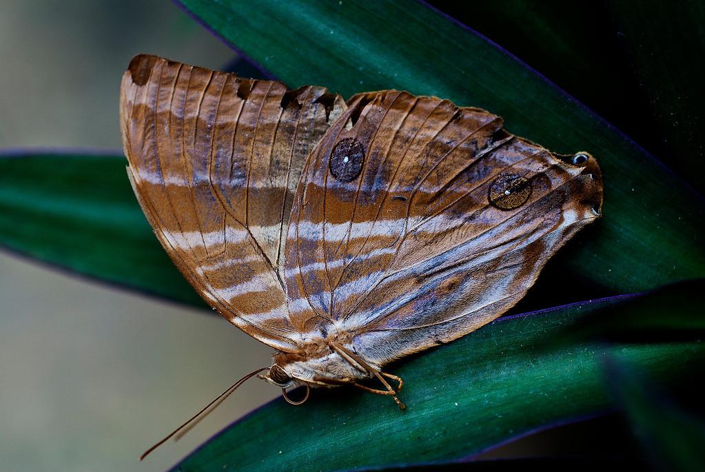 Palmking (Amathusia phidippus phidippus)