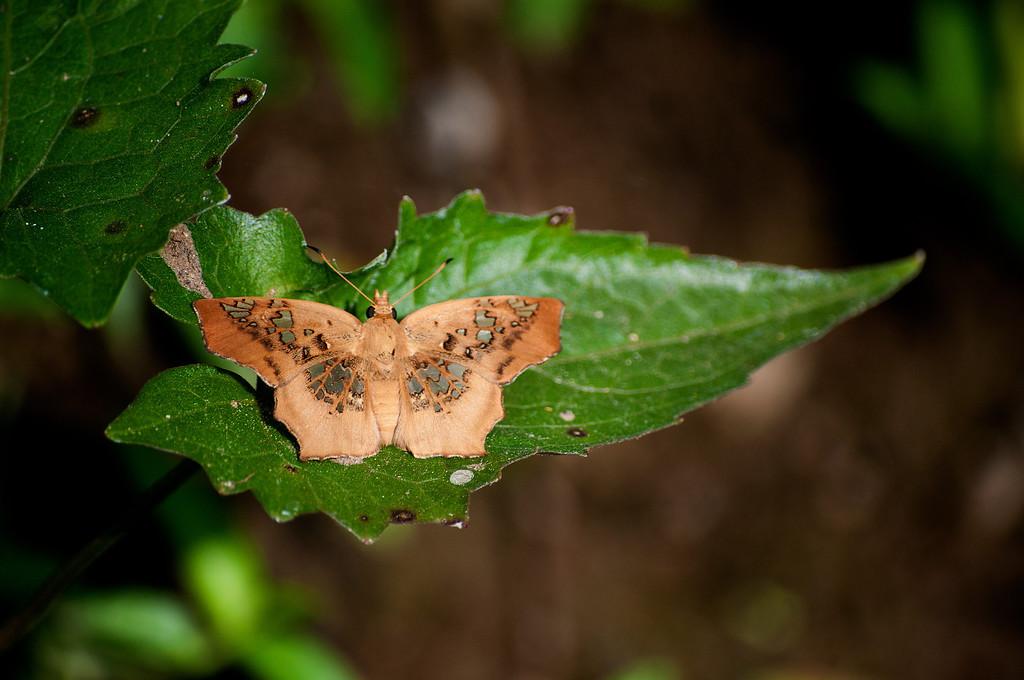 Tawny Angle (Ctenoptilum vasava vasava)