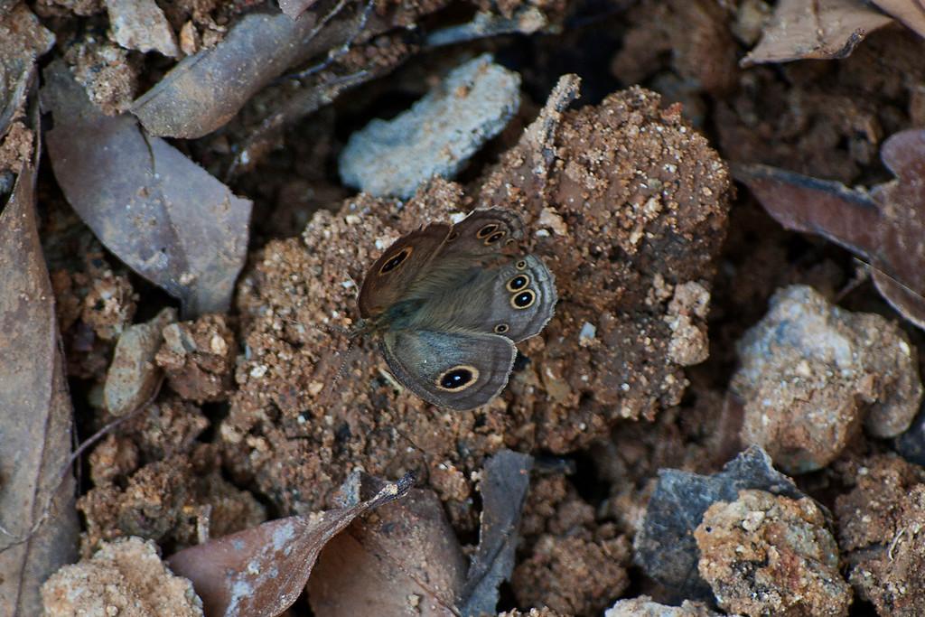 Common Fivering (Ypthima baldus newboldi)