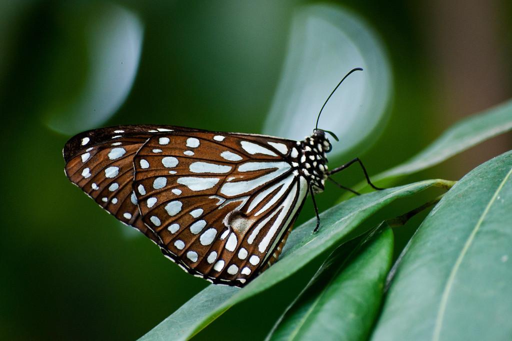 Broad Blue Tiger (Tirumala limniace limniace)