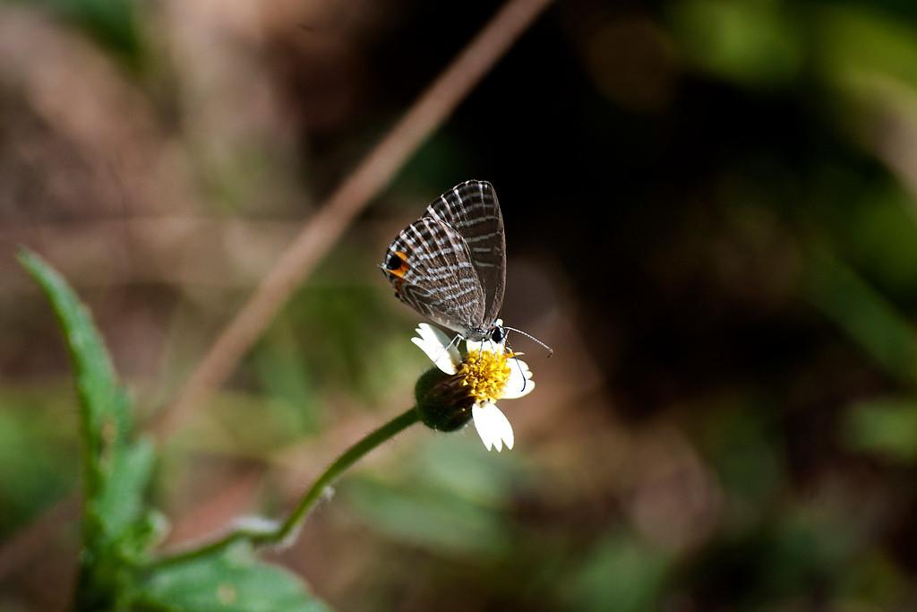 Common Cerulean (Jamides celeno aelianus)