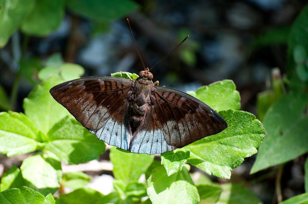 Violet-bordered Viscount (Tanaecia clathrata violaria)