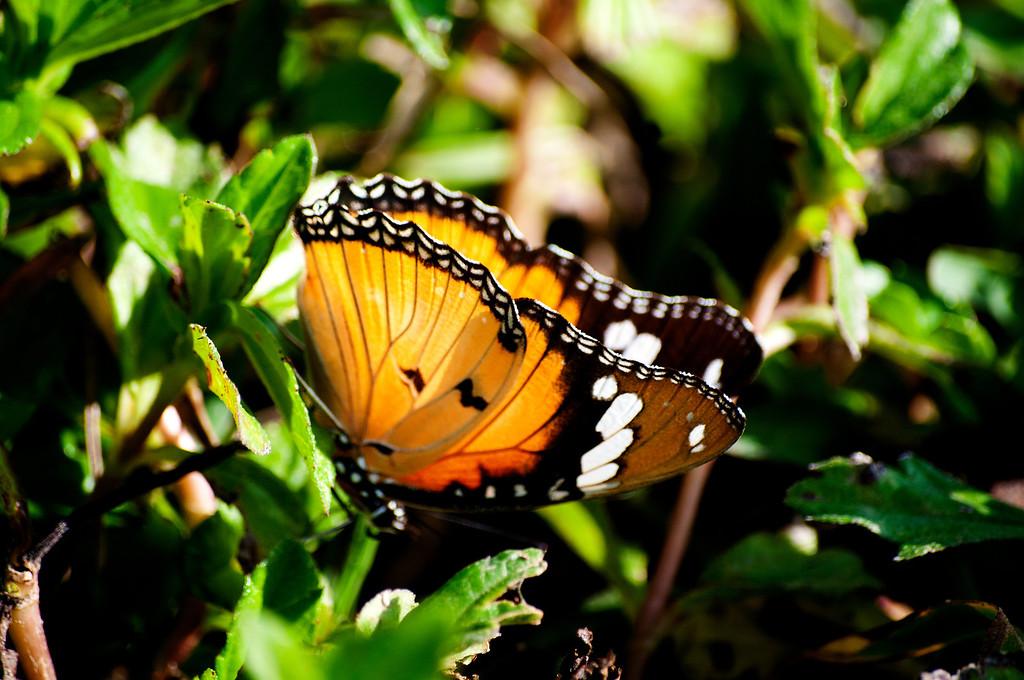 Danaid Eggfly (Hypolimnas misippus misippus)