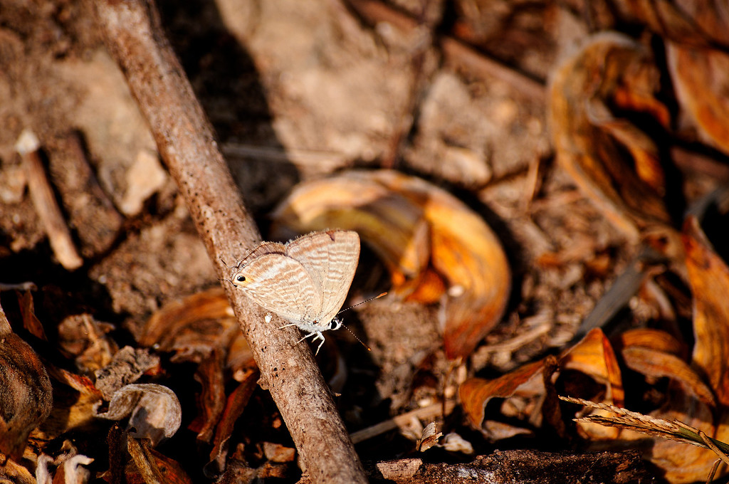 Peablue or Long-tailed Blue (Lampides boeticus)