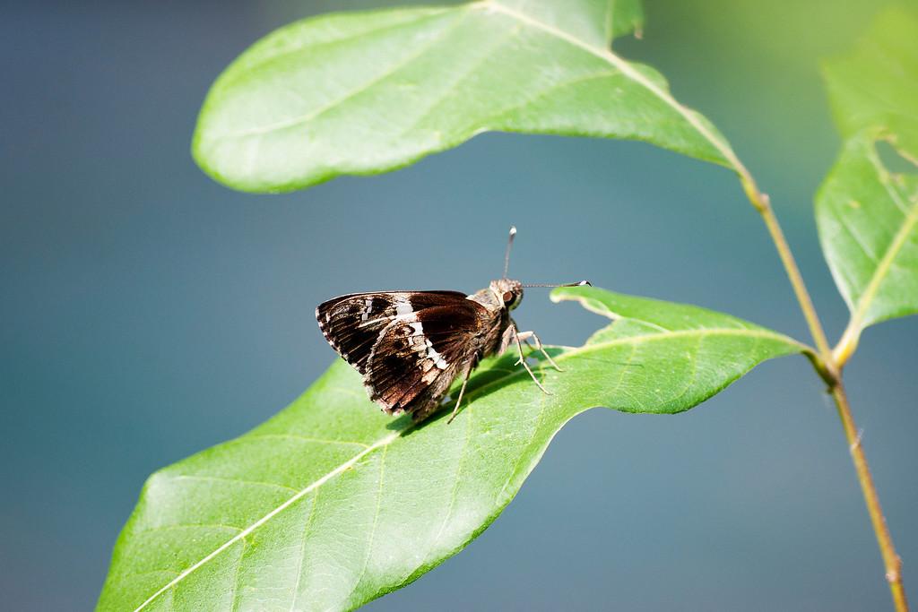 Tree Flitter (Hyarotis adrastus praba)