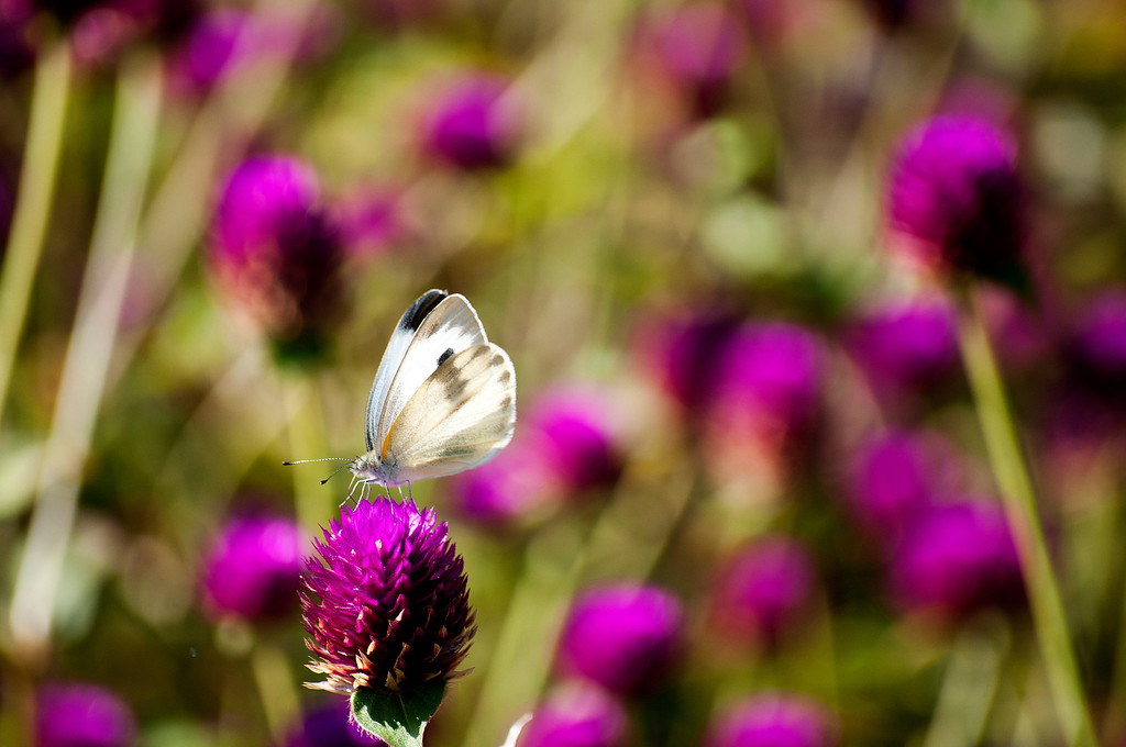 Indian Cabbage White (Artogeia canidia indica)