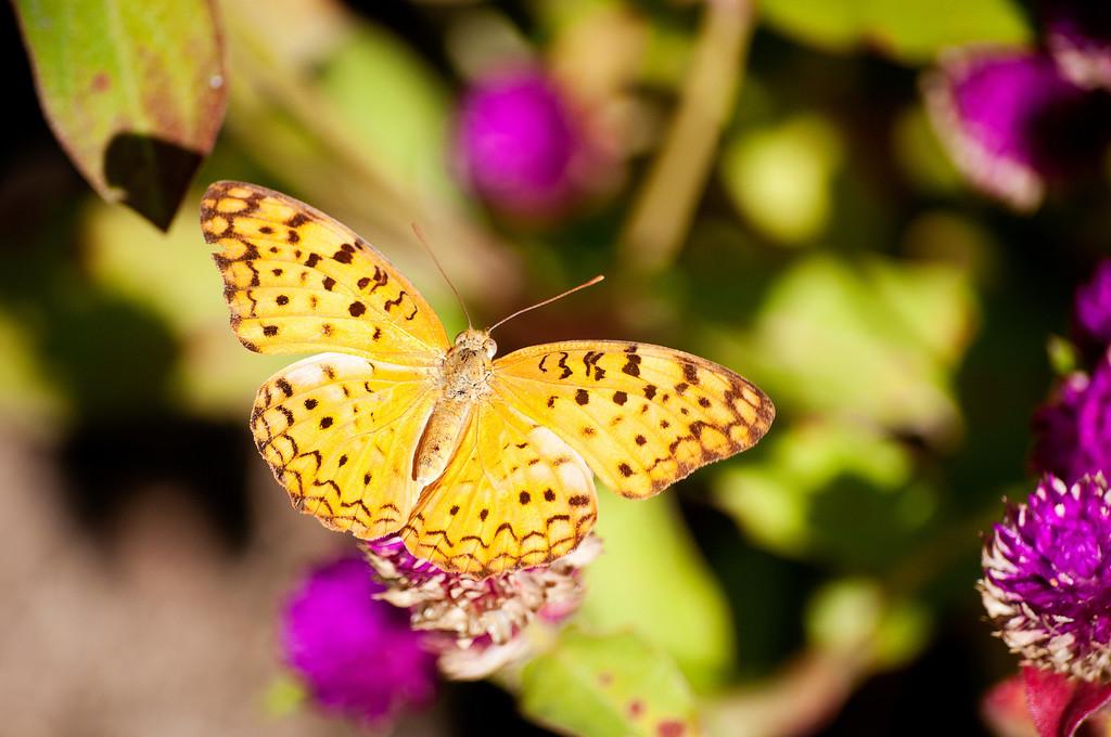 Common Leopard (Phalanta phalantha phalantha)