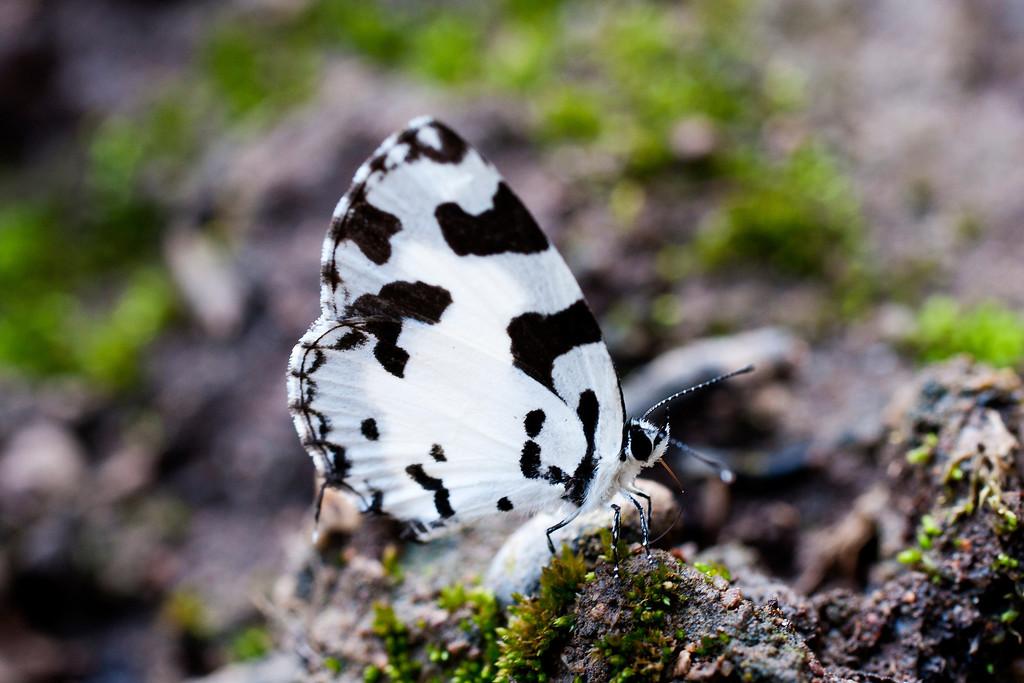 Angled Pierrot (Caleta decidia decidia)