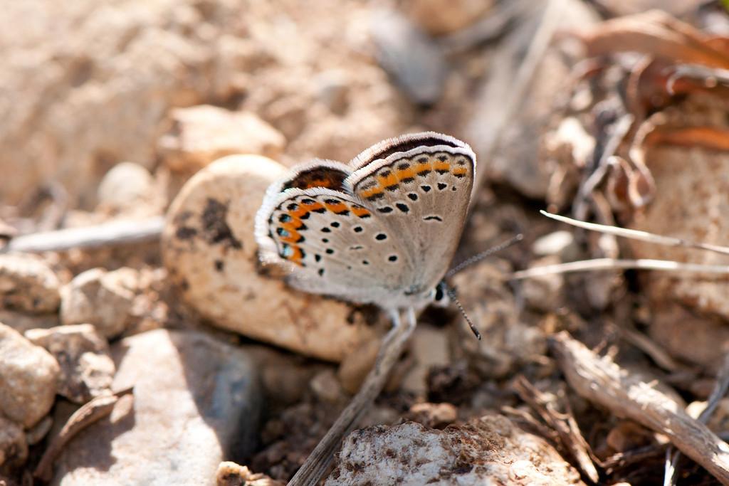 Melissa Blue (Lycaeides melissa melissa)