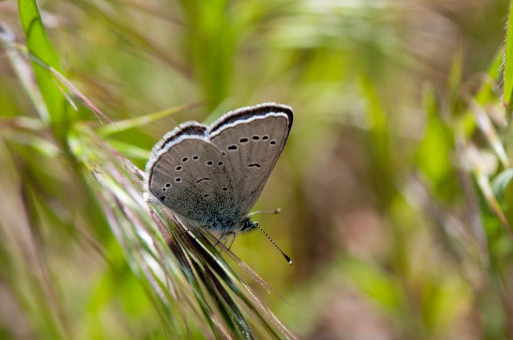 Afra Silvery Blue (Glaucopsyche lygdamus afra)