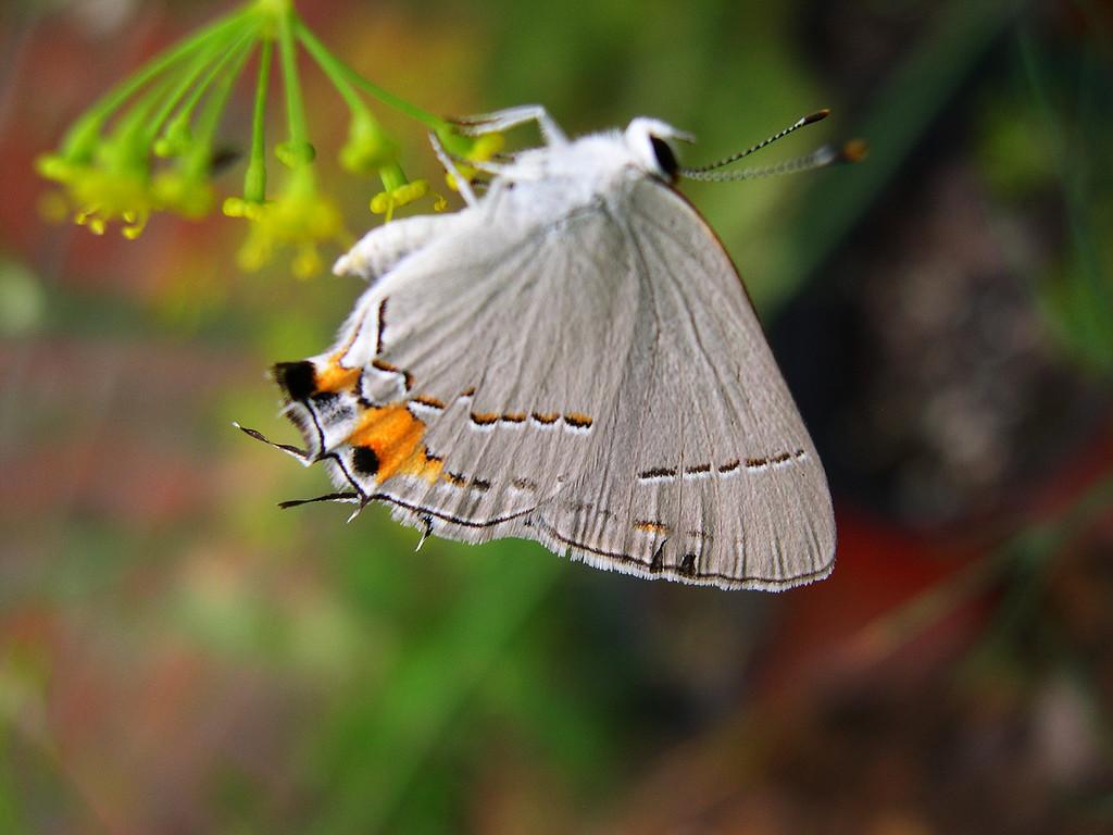 Gray Hairstreak (Strymon melinus melinus)