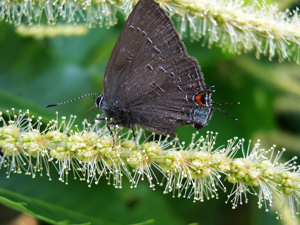Banded Hairstreak (Satyrium calanus falacer)