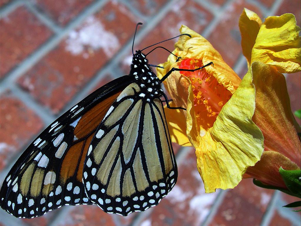Monarch (Danaus plexippus plexippus)