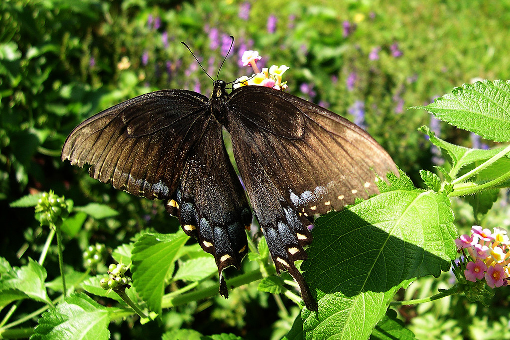 Eastern Tiger Swallowtail (Papilio glaucus glaucus)