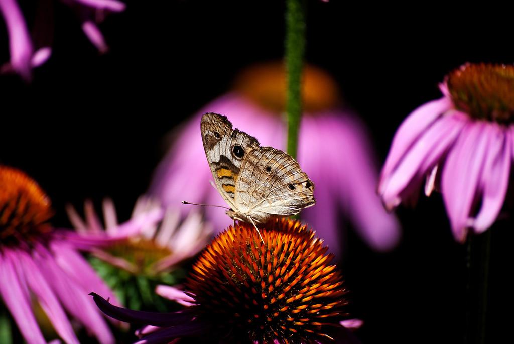 Common Buckeye (Junonia coenia coenia)