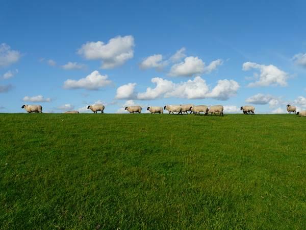 sheep-57706_600