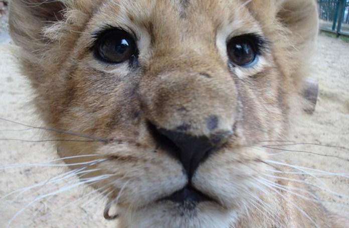 Встреча с львёнком