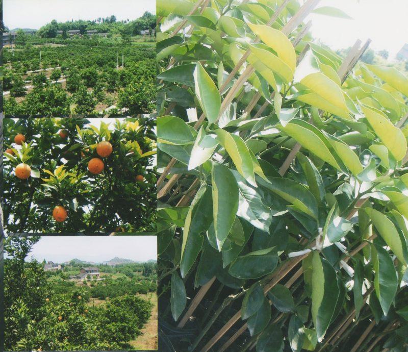 plantations d'orangers près de Chongqing, chine