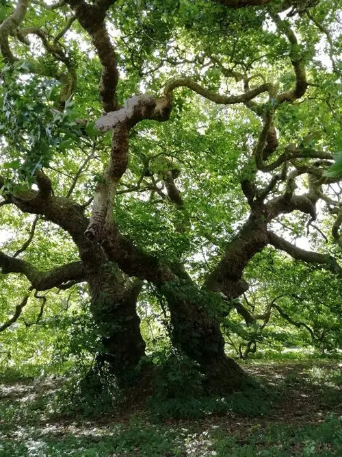 arbre remarquable platane de Missillac