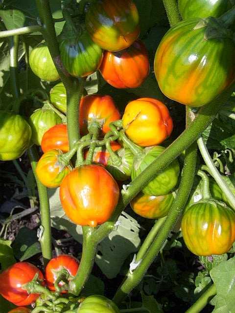 Solanum aethiopicum Scarlet eggplant Solanum gilo