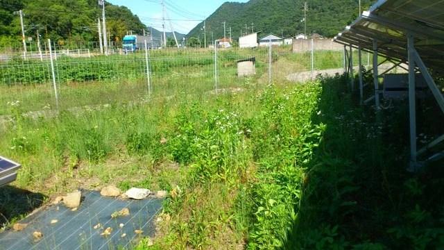 シロツメクサがほとんど繁茂しておらず雑草だらけの箇所