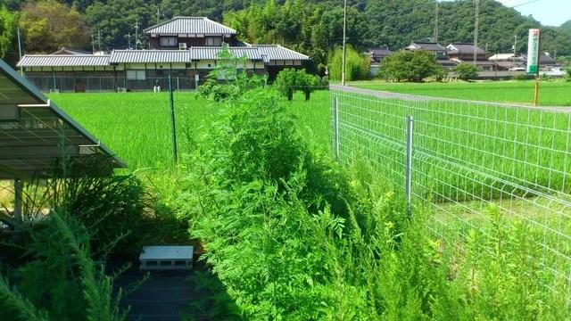 木酢液の水溶液が除草剤ではなく肥料として機能したため繁茂した雑草