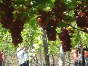 Grape Plantation in Ecuador