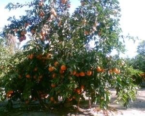 The Nazca Orange Plantation