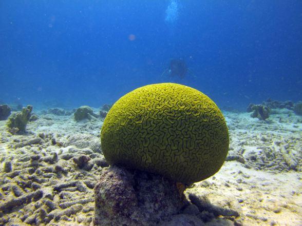 Brain coral, Bari Reef. Joanna in background.