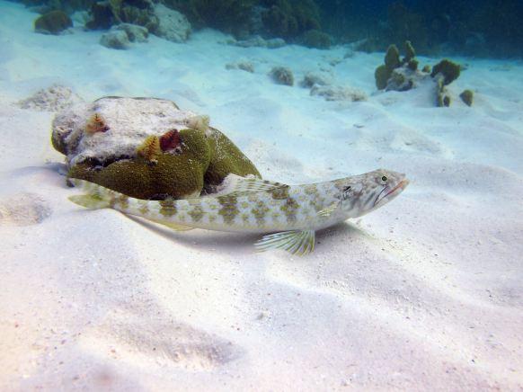 Sand diverlizardfish, Andrea I, Bonaire.