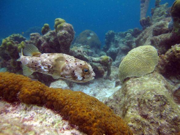 Balloonfish, Andrea I, Bonaire.