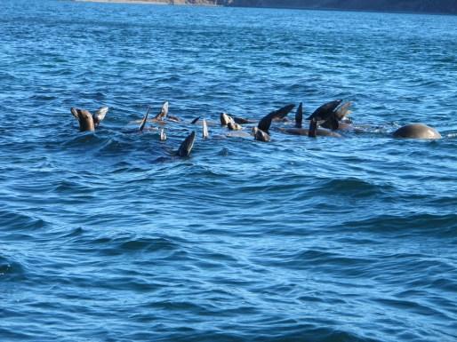 Sea Lions Basking in Bahia de los Angeles